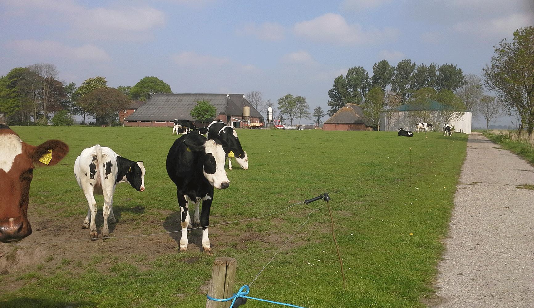 Koeien van zorgboerderij Balmahuizen